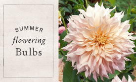 Summer-Flowering Bulbs