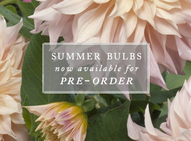 summer bulbs now available for pre-order