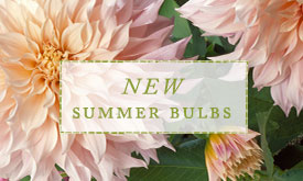 NEW Summer Bulbs