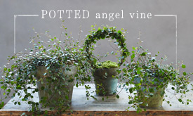 Potted Angel Vine