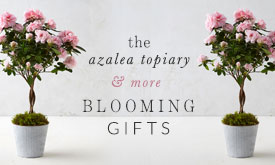 The Azalea Topiary + more blooming gifts