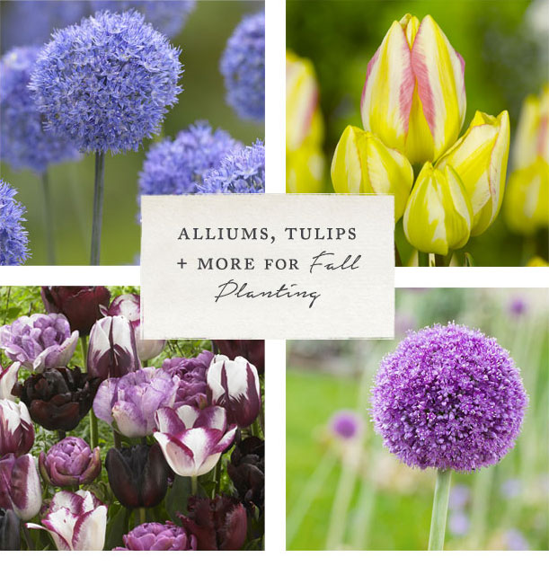 Alliums, Tulips + More for Fall Planting