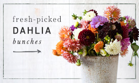 Fresh Picked Dahlia Bunches