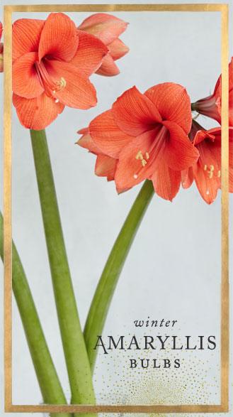 winter amaryllis bulbs