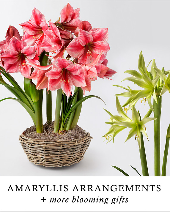 Amaryllis Bulbs for Holiday Blooms