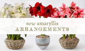 NEW | Amaryllis Arrangements